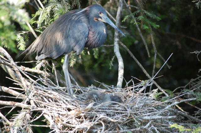 Tricolored Heron and babies