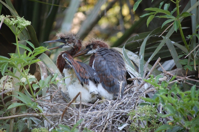young tricolored herons on nest