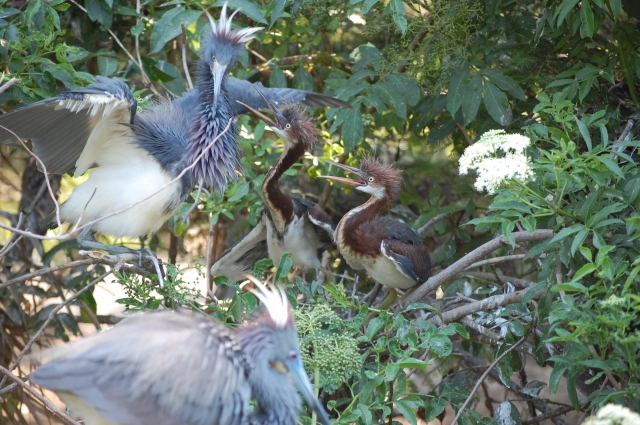 Tricolored herons waiting for food