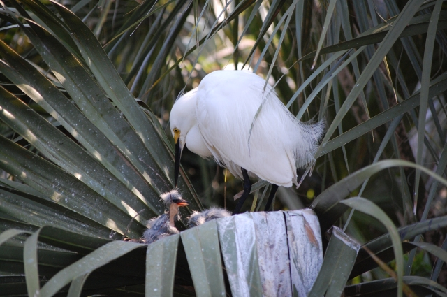 Snowy Egrets and her young