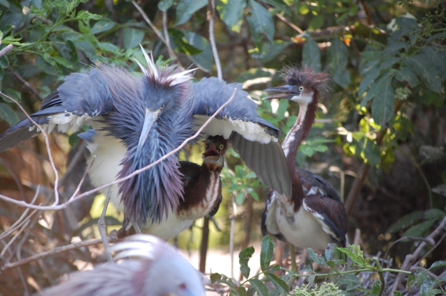 Tricolored Heron having a rough day with the kids...