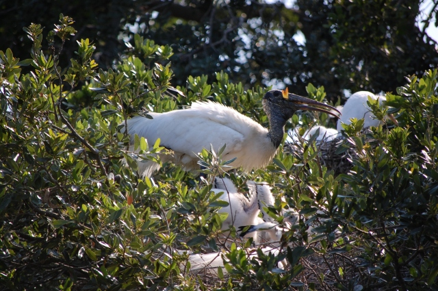 Woodstork and young were hard to see....