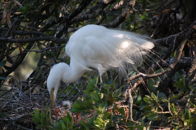 Great Egret feeding her young