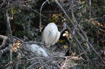 Snowy Egret and sleeping babies