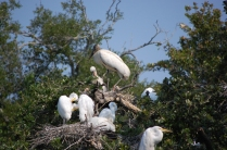 Woodstorks atop and Great Egrets close by