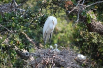 Great Egret and babies