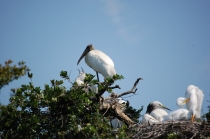 Woodstork and Great Egret nests and babies