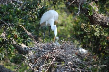 Great Egrets