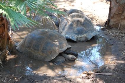 Galapagos Turtles... these things were HUGE!!